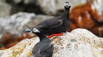 最北端旅情と天売島オロロン鳥の旅